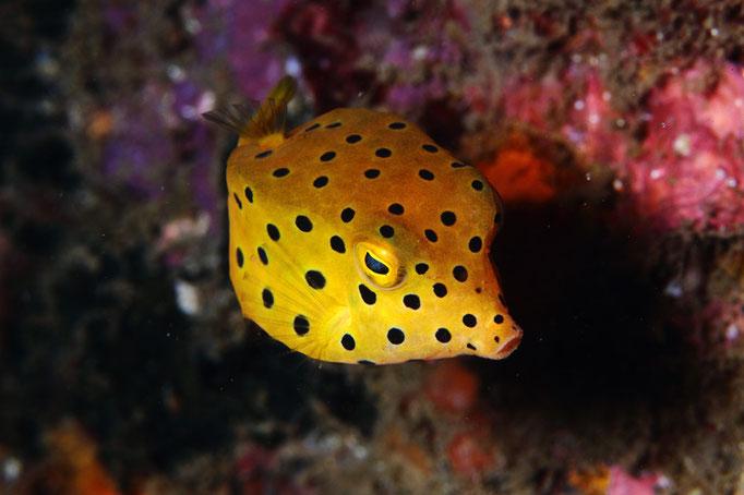 Juvenile Yellow Boxfish - juveniler Gewöhnlicher Kofferfisch - Ostracion cubicus
