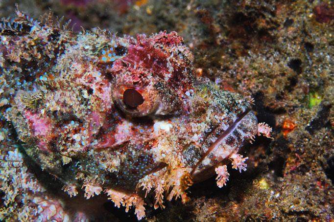 Tasseled Scorpionfish - Bärtiger-Drachenkopf - Scorpaenopsis oxycephala