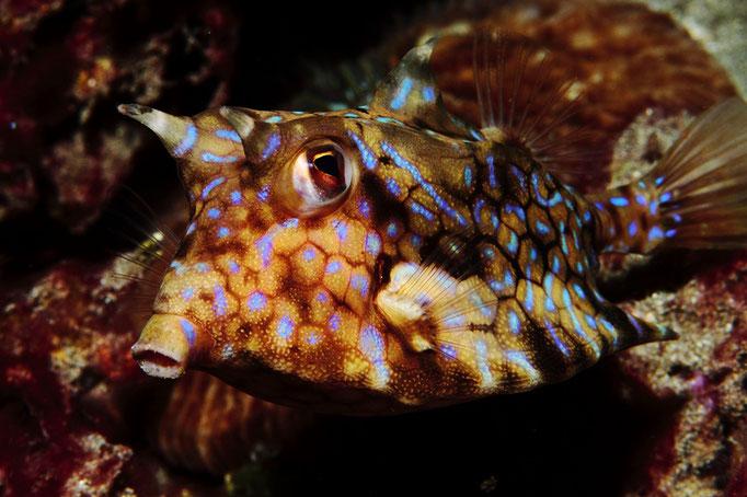 thornback cowfish - Dornrücken-Kofferfisch - Lactoria fornasini