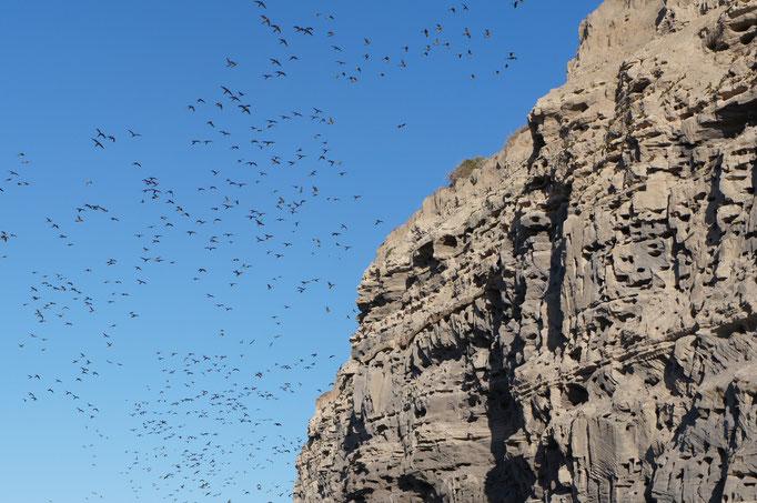 35 000 perroquets dans les falaises du Balneraio del Condor !