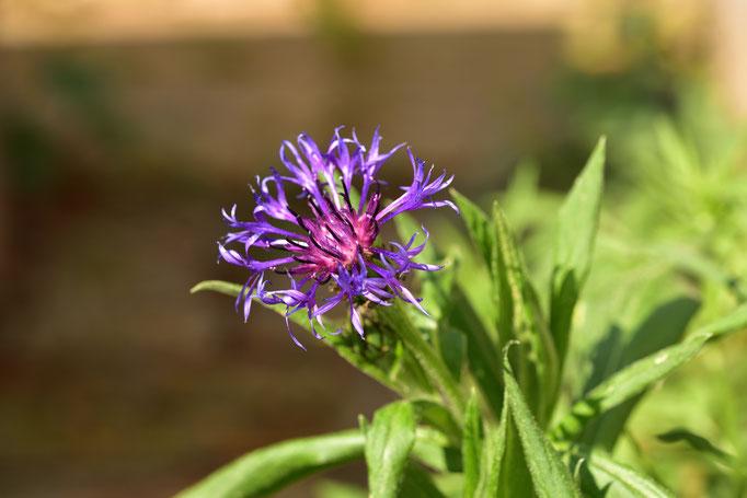 die Flockenblume, Futter für Insekten