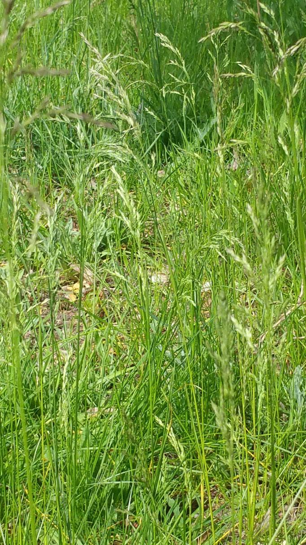 Pollen der Gräser