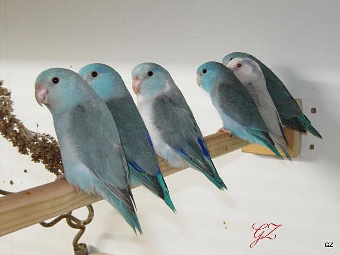 Blau ,Blaufalbe,Blauschecke
