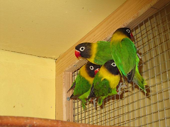 Schwarzköpfchen Wildfarben