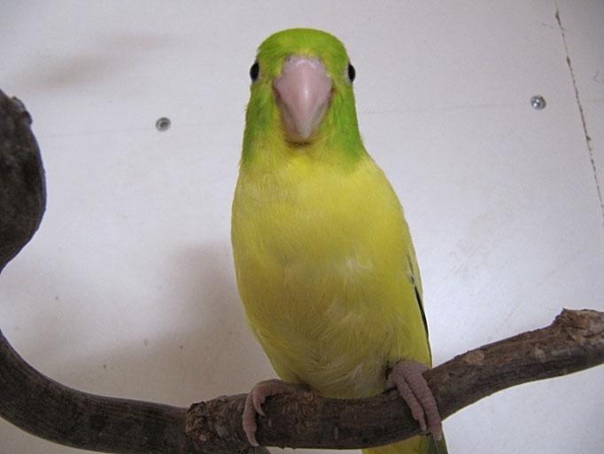 Grün Schecke