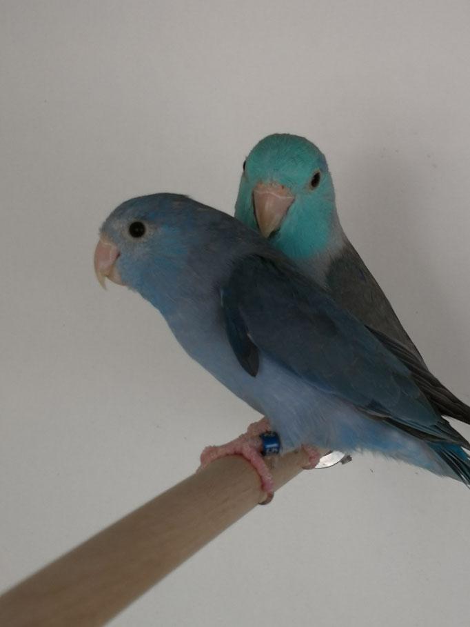 Zuchtpaar 1,0 Blau x 0,1 Kobaltblau