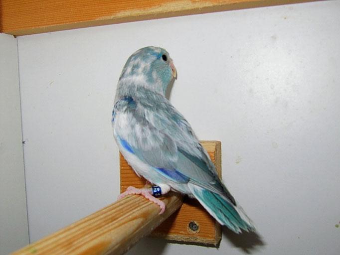 Blauschecke