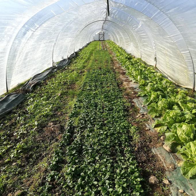 Récolte de choux chinois et de mâche à l'abri du vent ( presque ) glacial dans la serre