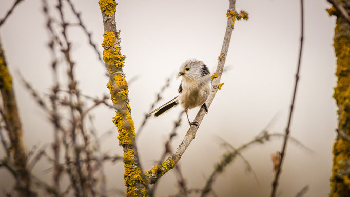 Schwanzmeise ...beim sammeln für den Nestbau