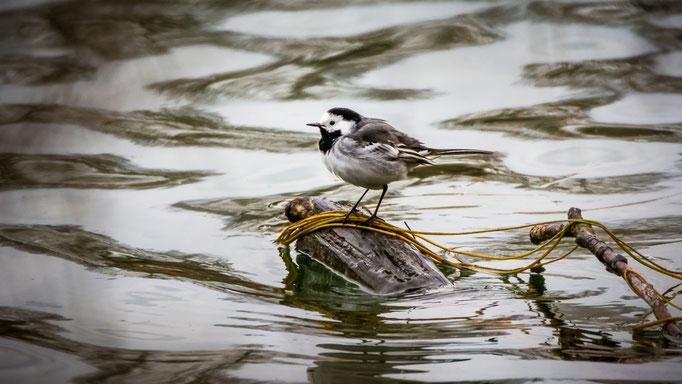 Bachstelze ...am Ufer des Weihers