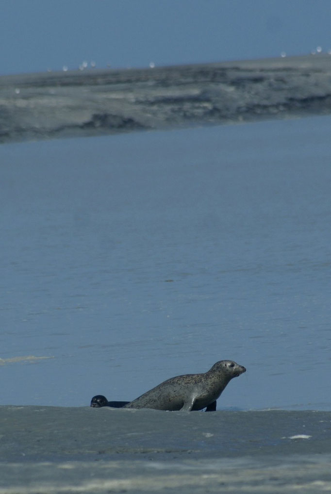 phoque en phase de repos sur un banc de sable