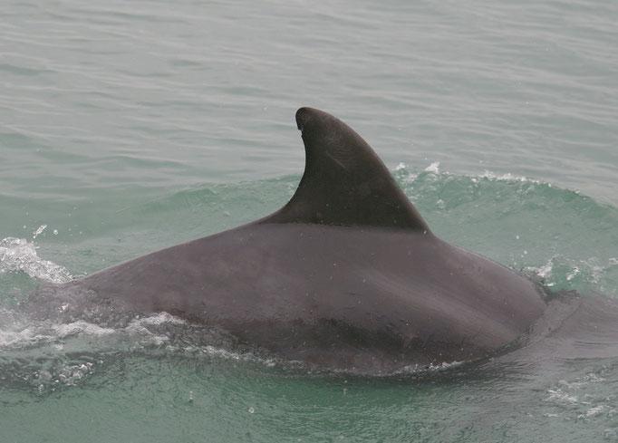 l'aileron du dauphin