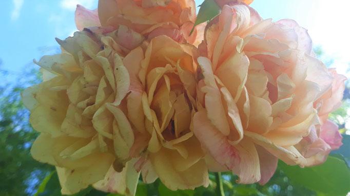 14.08. Bald verblühende Rosen