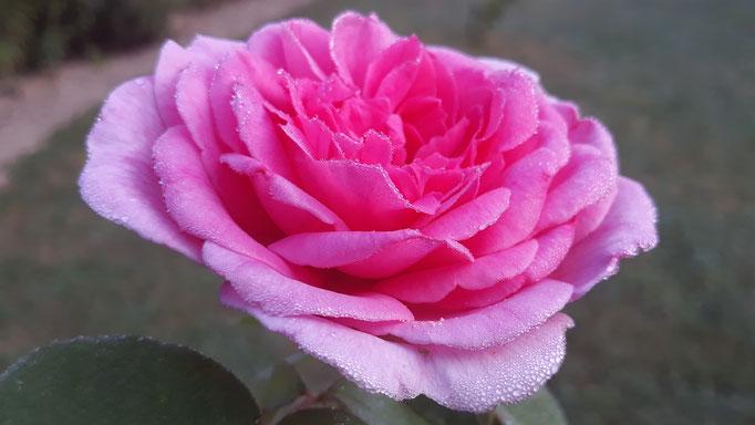 28.08. Tau auf Rose - ein Klassiker - immer wieder schön zu sehen