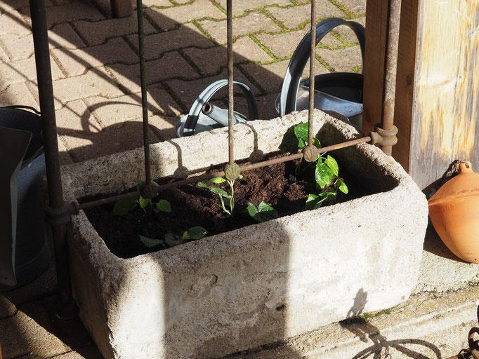 Schwarzäugige Susanne gepflanzt