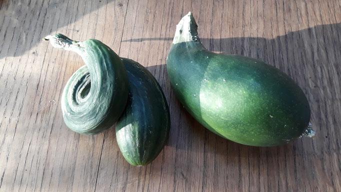 12.09. Lustig gewachsene Salatgurken