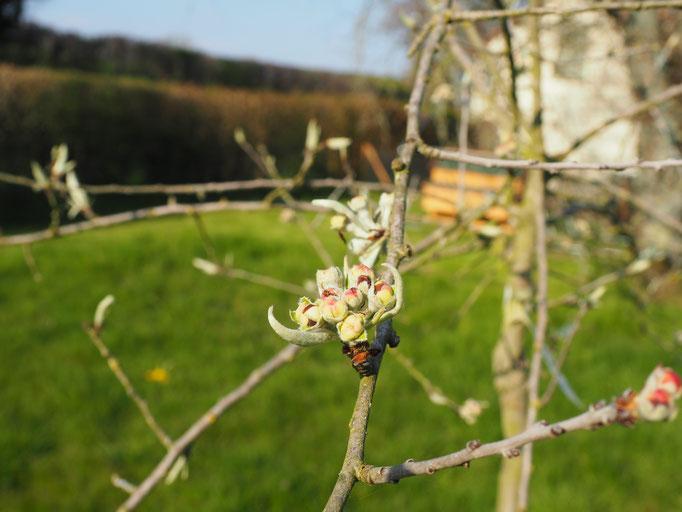 Die noch nicht geöffeneten Blüten der Wildbirne