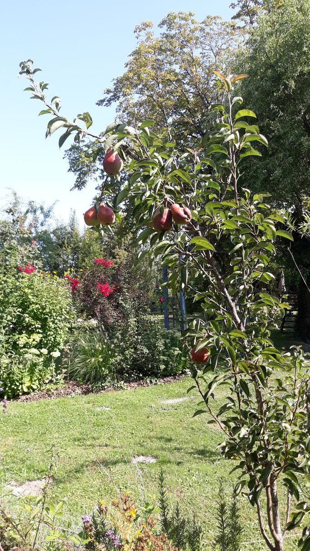 23.08. Der Birnenbaum trägt das erste Mal richtig Früchte, die auch ausreifen