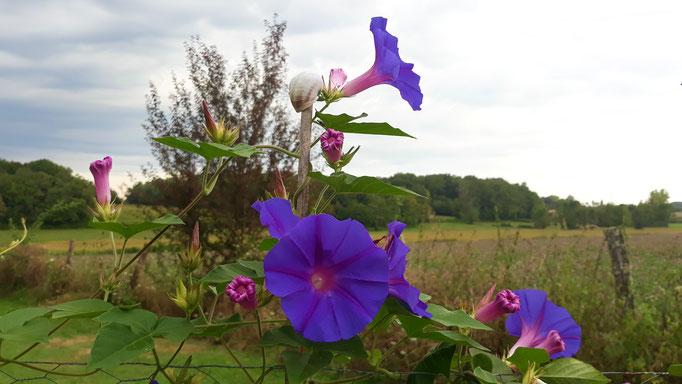 17.08. Eine herrlich blau blühende Winde