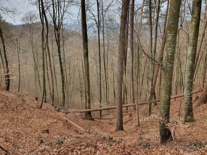Herrlicher Buchenwald
