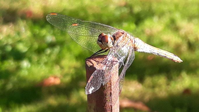 20.08. Ein Libelle sitzt da, wo üblicherweise eine aus Eisen steht - in genau gleicher Position