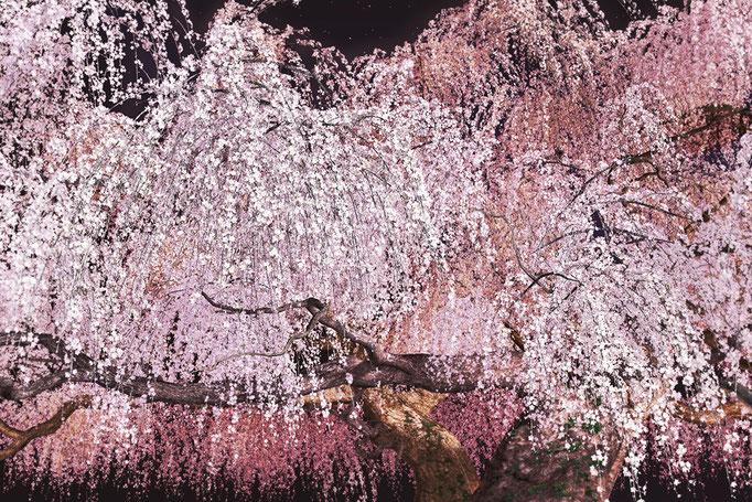 春の宵 枝垂桜