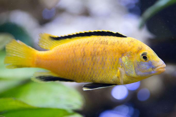 8228-01_Labidochromis caeruleus yellow / Riffbarsch gelb ♂