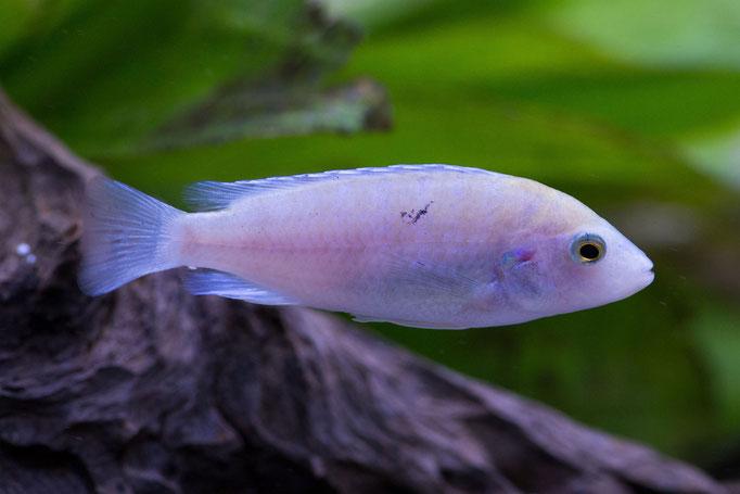 8168-01_Labidochromis caeruleus white / Riffbarsch weiss