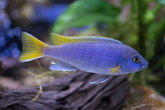 8207-01_Pseudotropheus acei / Buntbarsch blau/gelb