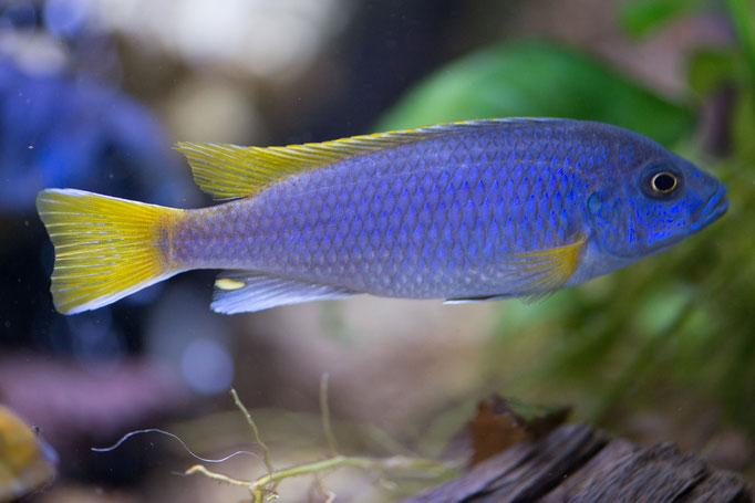 8257-01_Pseudotropheus acei / Buntbarsch blau/gelb