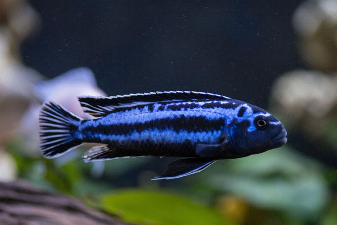8213-01_Melanochromis johannii / Kobaltorangebarsch
