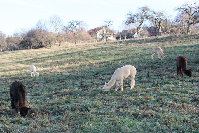 Alpakas Hofgut Buckenberg Pforzheim