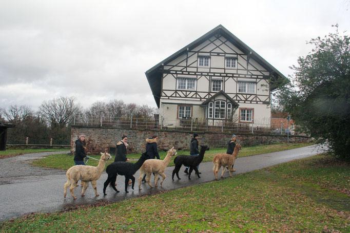 Alpakas Hofgut Buckenberg Pforzheim Wanderung