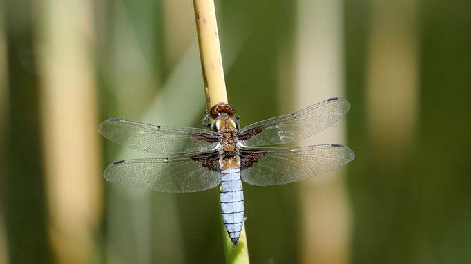 Österreich, Plattbauch (Männchen)