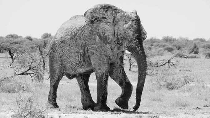 Afrikanischer Elefant, Namibia