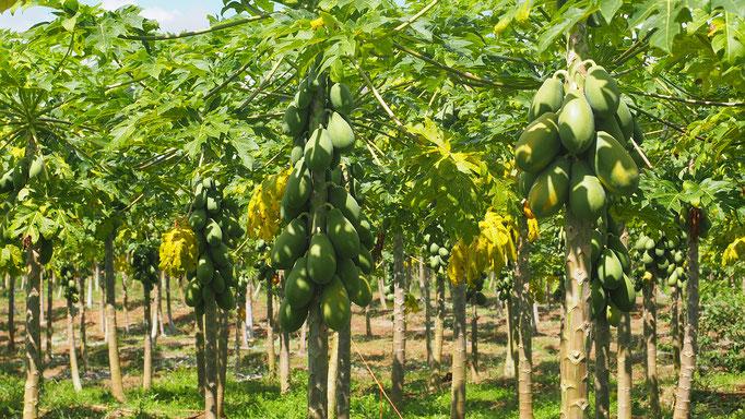 Costa Rica, Papayaplantagen nahe Tortuguero