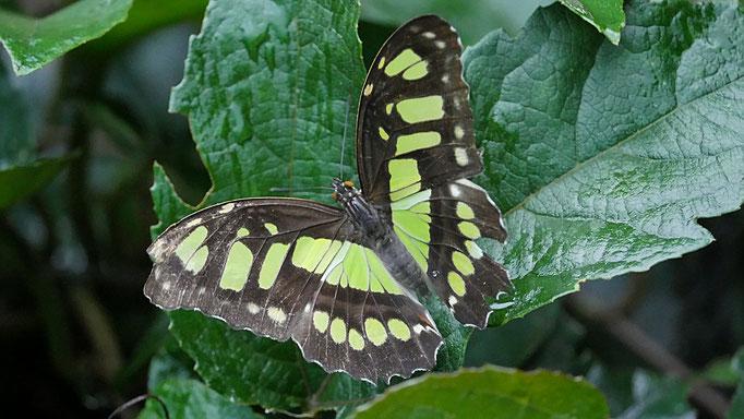 Costa Rica, Malachitfalter