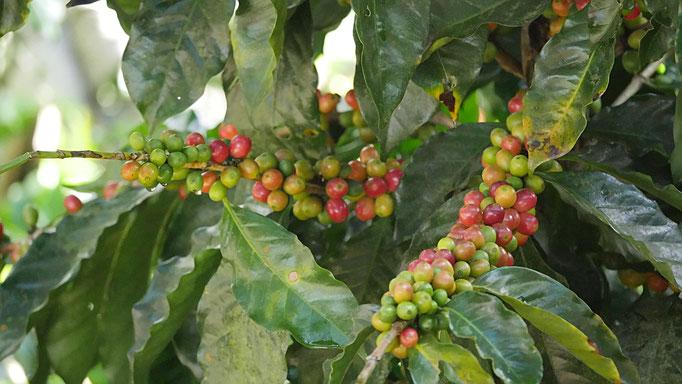 Costa Rica, Kaffee