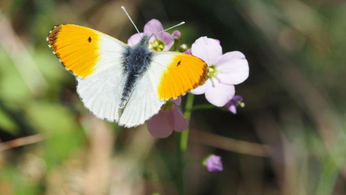 Österreich, Aurorafalter (Männchen)