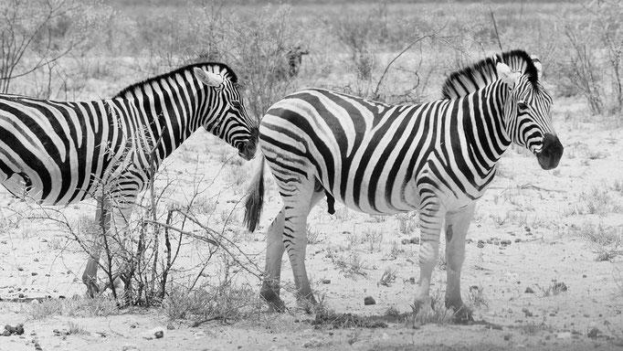 Steppenzebra, Namibia