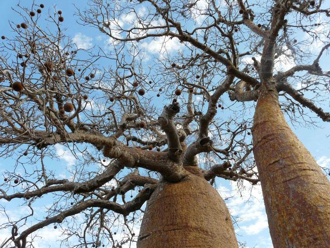 Madagaskar, Baobwald bei Ifaty