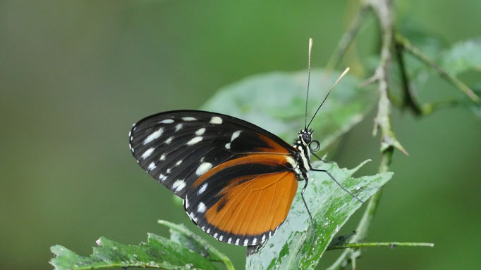 Costa Rica, tithorea tarricina pinthias