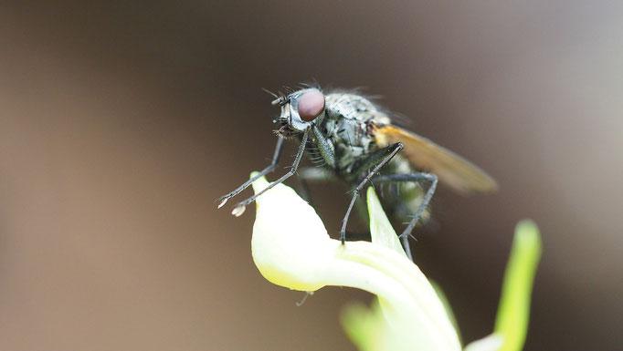 Österreich, Fliege