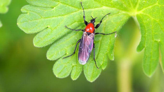 Österreich, Gartenhaarmücke (Weibchen)