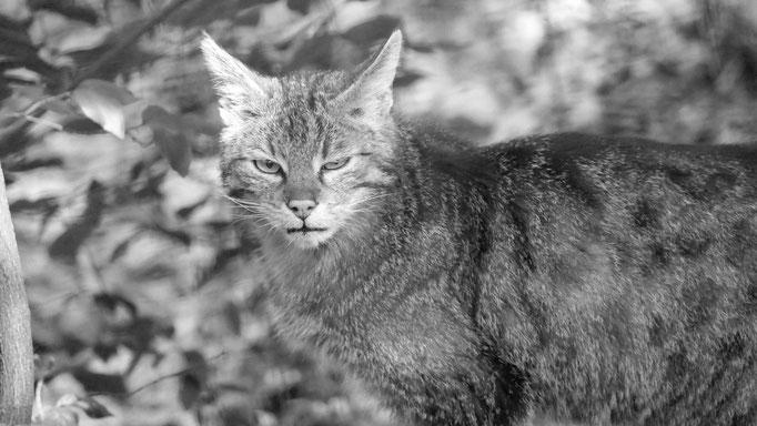 Wildkatze im Waldviertel