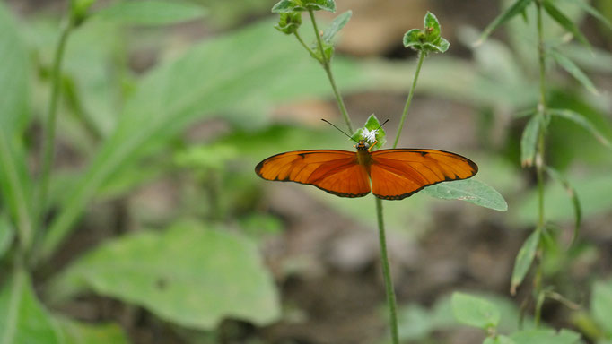 Costa Rica, dryas iulia