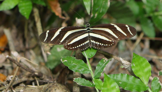 Costa Rica, Zebrafalter