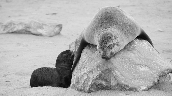 Südafrikanische Seebären, Cape Cross, Namibia