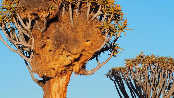 Namibia, Köcherbaumwald Keetmanshoop mit Nest der Siedelweber