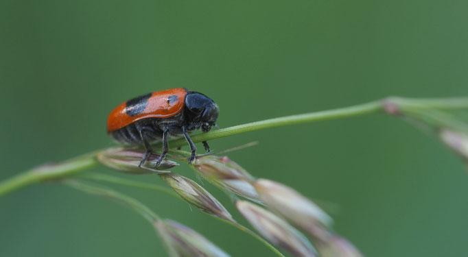 Österreich, Ameisensack-Käfer